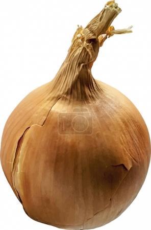 Ripe golden onion