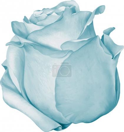 Beautiful blue Rose Flower