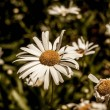 Green grass and chamomile flowers, spring floral l...
