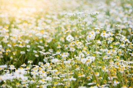 Field of daisy flowers in summer