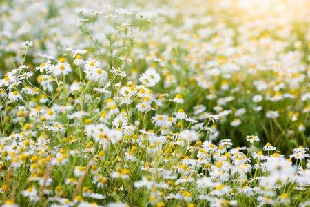 Photo pour Beau champ de fleurs de Marguerite journée d'été ensoleillée. Pré de marguerites au printemps. Décor de fleur de camomille sauvage. Paysage pays avec camomille. L'herbe verte et ciel bleu. Fond de nature idyllique. - image libre de droit