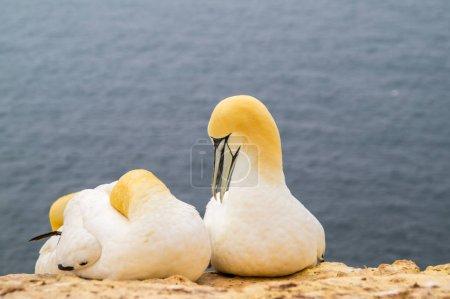 Photo pour Gannet saison de reproduction sur Helgoland - image libre de droit