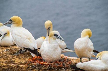 Photo pour Gannet grouillant sur Helgoland - image libre de droit