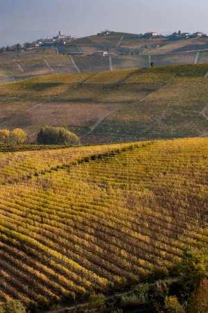 rows of vines at sunset