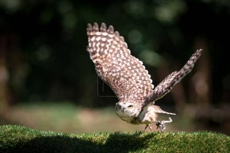 Owl animal on nature background...
