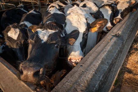 domestic cows in a barn