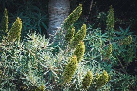 Photo pour Épis de fleurs coniques d'Echium candicans communément appelé Fierté de madère - image libre de droit