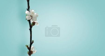 Blooming apricot branch