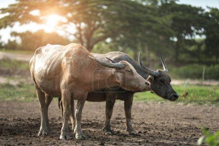 two buffalos on plowed farmland