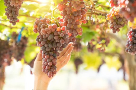 Bunch of grapes on a vine in the sunshine