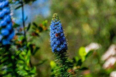 Photo pour Gros plan d'une abeille minière sur une fleur d'Echium candicans (fierté de Madère) trouvée dans le jardin de Castle Hill à Nice, France - image libre de droit