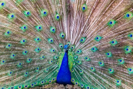 Peacock and feathers on display.