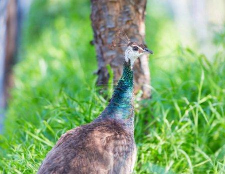 Peacok roaming free in India.