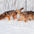 Big cute and beautiful red dogs play happily and c...
