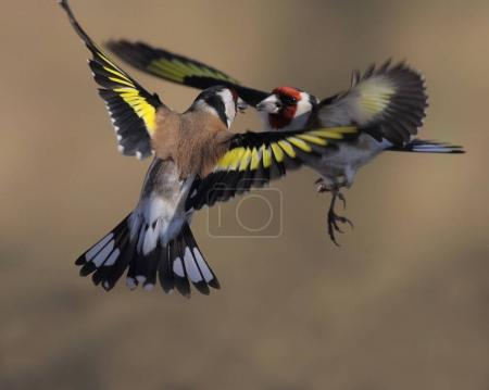 Duel of flying Goldfinches in air. The European go...
