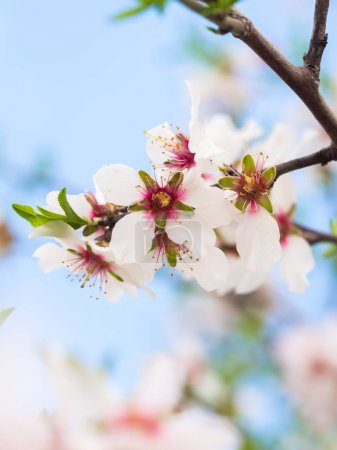 Foto de Close up of beautiful flowering sweet almond tree - Imagen libre de derechos