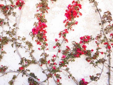 Bougainvillea tree growing on a wall
