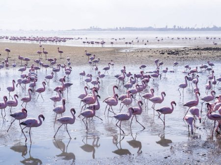 flamingos on Walvis Bay Lagoon.