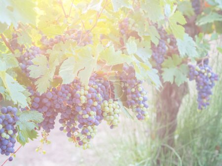 red grapes on grapevine