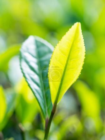 close-up of Fresh Tea sprouts in plantation of Porto Formoso, Azores, Portugal