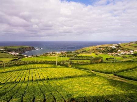 Tea plantation in Porto Formoso, Azores, Portugal
