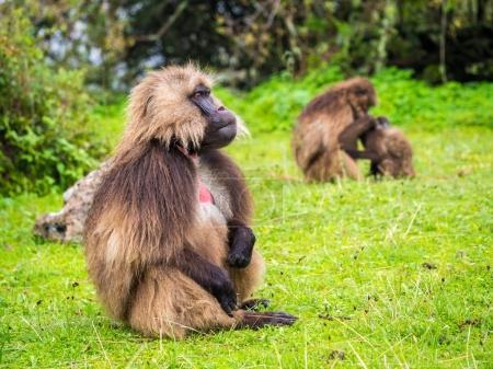 Foto de Monos Gelada (Theropithecus gelada) en las montañas de Simen, Etiopía. - Imagen libre de derechos