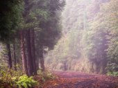 Forest in Nature Reserve of Pico da Vara on Sao Miguel island, Azores.