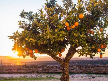 Small orange tree growing in Esporao in Alentejo region, Portugal, at sunset