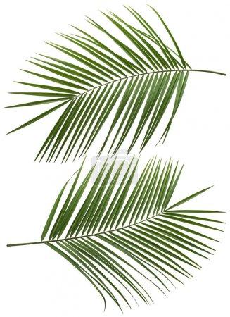 Foto de Árbol de Palma de coco hojas set 1 aislado sobre fondo blanco - Imagen libre de derechos