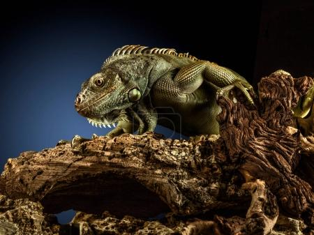 A green iguana on a tree branch.
