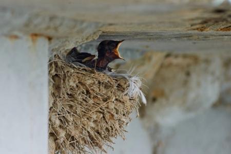 Photo pour Les hirondelles et martins ou Hirundinidae, sont une famille de passereaux trouvés partout dans le monde sur tous les continents sauf l'Antarctique. - image libre de droit