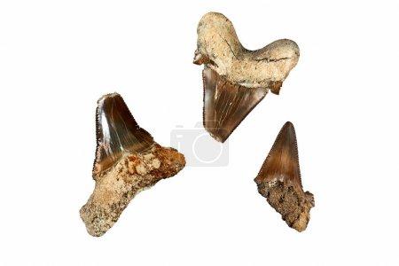 Photo pour Dents de requin préhistorique. Les types plus anciens date de requins retour à 450 millions d'années, au cours de la période de l'Ordovicien et sont surtout connus par leurs dents fossilisées. Cependant, le plus communément trouvé dents de requin fossiles proviennent du Cénozoïque - image libre de droit