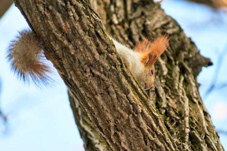 Photo pour L'écureuil. Les écureuils sont membres de la famille des Sciuridae, une famille qui comprend de petits rongeurs. . - image libre de droit