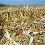 Corn Fields After Harvest:  Corn stalks, leaves an...