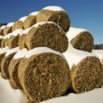 Corn Fodder Bales in Winter:  Corn stalks, leaves ...