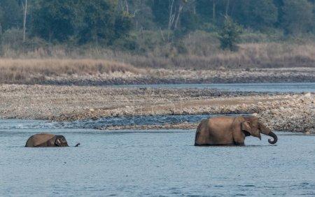 Female Asian elephant with cub crossing Ram Ganga ...