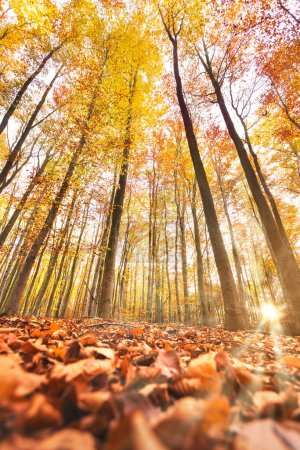 Photo pour Forêt d'automne avec rayons de soleil. Vue du bas jusqu'aux arbres jaunes - image libre de droit