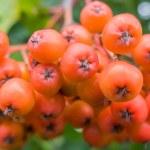 Постер, плакат: Ripening Rowan berries