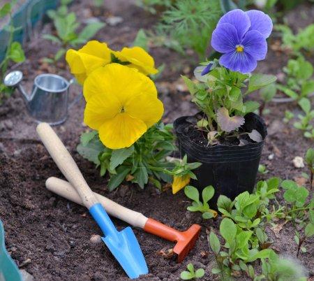 Planting garden pansy, garden tools on flowerbed