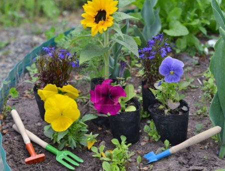 Spring background with flowers in planting pots and garden tools on flowerbed