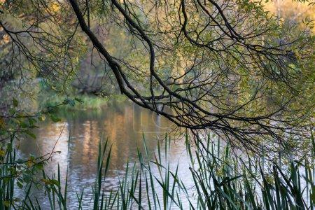 Photo pour Branche arborée sur fond de lac. L'automne dans le parc - image libre de droit
