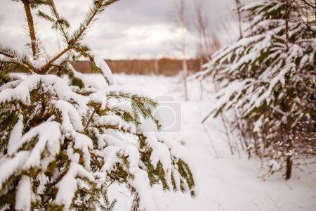 Photo pour Photo des branches d'épinette dans la forêt d'hiver le jour - image libre de droit