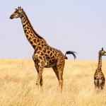 Mother and baby Maasai giraffes, Giraffa tippelski...
