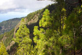 Beautiful panorama of pine forest with sunny summer day. Coniferous trees. Sustainable ecosystem. Tenerife, Teide volcano, Canary islands, Spain