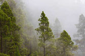 Pinus canariensis. Misty foggy forest. Fog in pine forest