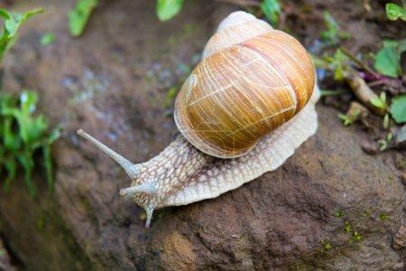 Snail gastropod mollusk with spiral sheath
