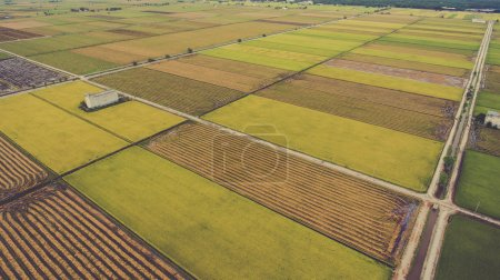 Aerial photo from flying drone of a beauty nature scenery with farm with cultivation of grain rice or millet crops.