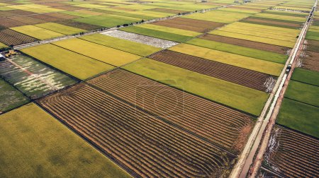 Aerial photo from flying drone of a green rice field with crops in rural area in summer season. Grown harvest with natural foods in Thailand district.