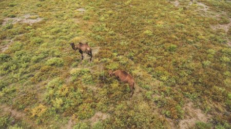 Top view aerial photo from drone of a meadow with beautiful animals in sunny summer day in Asia.