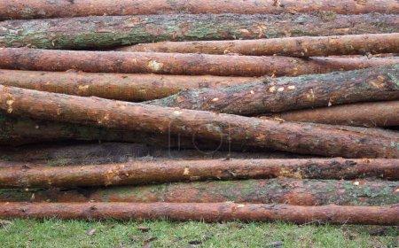 Photo pour Beau fond Partie du tronc d'arbre Fermer Broche curonienne - image libre de droit